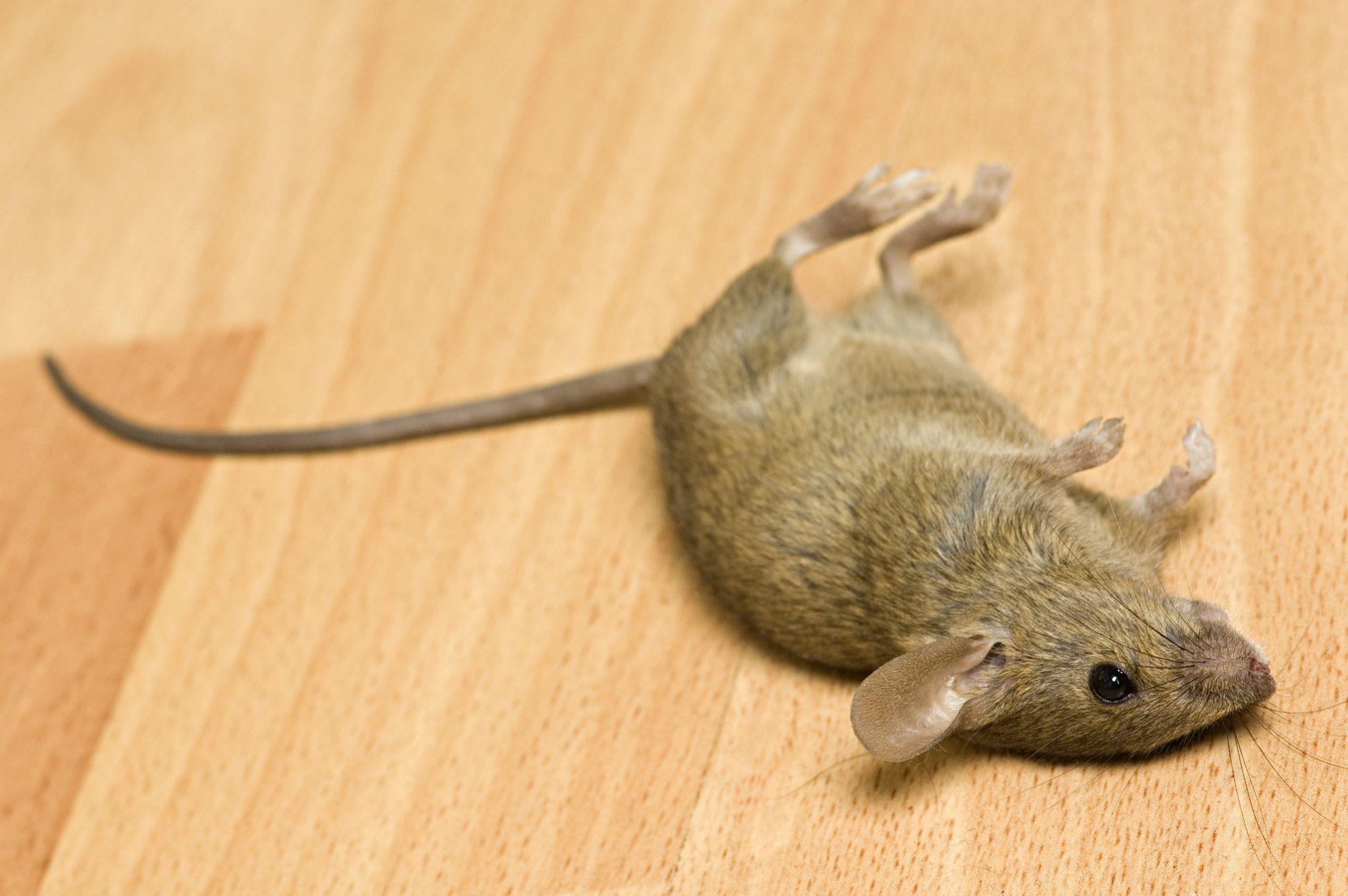 Muizen te bestrijden in huis